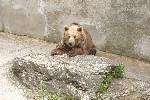 Bruine beeri n Slowaakse dierentuin Bojnice ZOO. Foto Wikimedia Commons / Lady Rowena